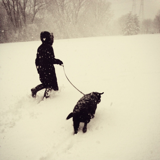 black lab playing in the snow